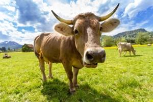 cow-759018_1920